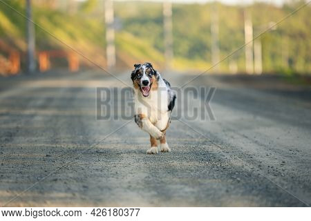 Portrait Of An Happy Blue Merle Australian Shepherd Dog Running On The Road At Sunset In Summer.