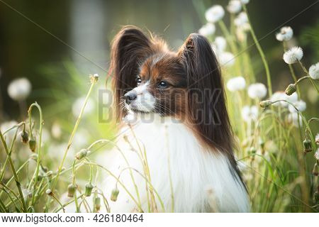 Beautiful Papillon Dog In The Grass And Faded Coltsfoot Flowers In Summer. Cute Continental Toy Outd