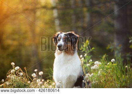 Portrait Of An Blue Merle Australian Shepherd Dog In The Forest At Sunset In Summer.
