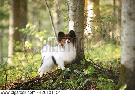 Portrait Of Beautiful Dog Breed Papillon Standing Under The Tree In The Forest In Summer. Continenta