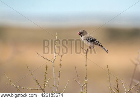 Scaly Weaver Standing On Grass Isolated In Natural Background In Kgalagadi Transfrontier Park, South