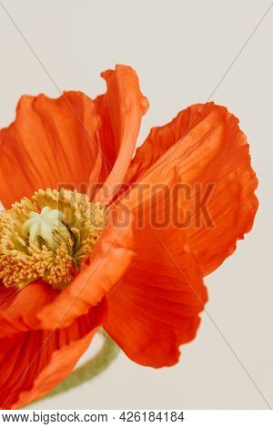 Close up of a red poppy flower on beige background