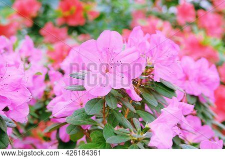 Azalea Festival. Azaleas In Spring, Pink Flowers. Blooming Pink Azalea Flowers Close Up In A Botanic