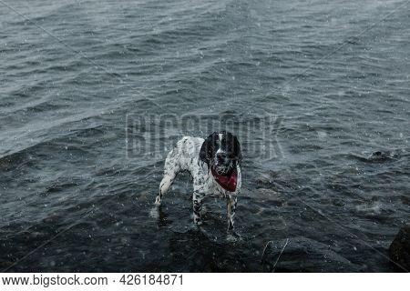 English setter dog in a lake