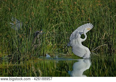 Defending One's Territory, Waiting In The The Tall Green Grass Is A Great Blue Heron. White Egret Fl