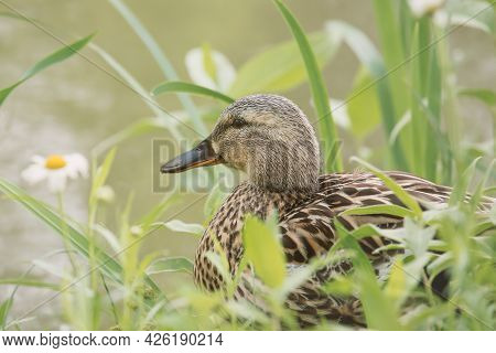 Daisy Duck Sits In Tall Grass Cooling Down. Background Defocused, Daisy Flower.