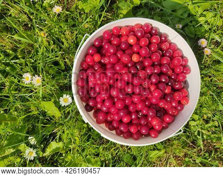 Ripe Cherries In A Plastic Bucket On Green Grass. View From Above. Macro Photo Of Juicy Red Berries.