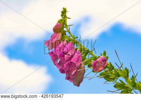 Digitalis Purpurea Or Pink Common Foxglove Against Sky With Clouds. Beauty In Nature.