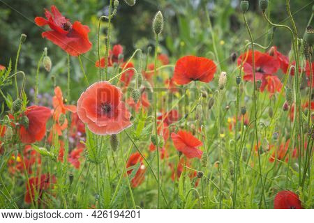 Red Poppy Papaver Flower Field Or Flowerbed. Beauty In Nature