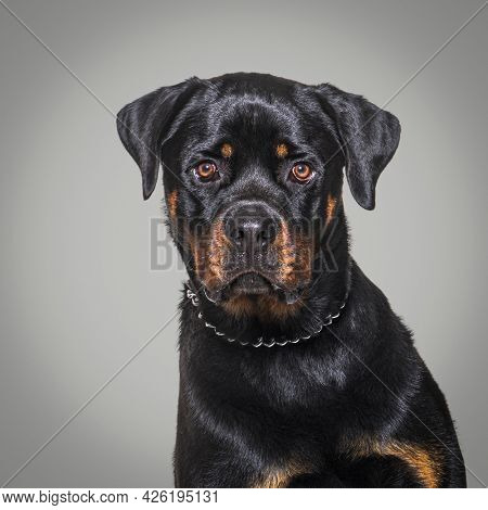 Head shot of a Rottweiler wearing a collar dog, against a grey background