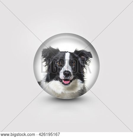 Head shot of a border collie in a circle