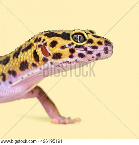 Head shot of a Leopard gecko on a cream background