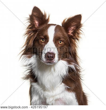 Head shot of a Brown and white Border collie isolated