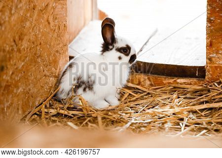 White Rabbit Looking Out Of A Rabbit Shop. Bunny Pet Stand On Hay. Rabbit Hutch On Farmer Yard