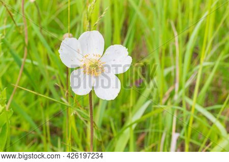 Wood Anemone Flower On Summer Sunny Meadow. Gentle White Flower With Golden Stamens