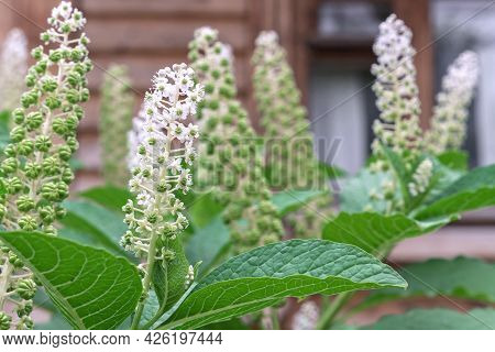 Bloom Phytolacca Americana, Also Known As The American Pokeweed Is A Poisonous, Herbaceous, Perennia