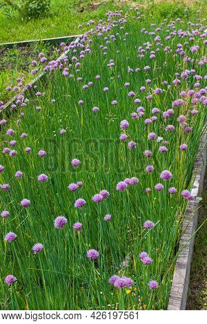 Purple Flowers Of Decorative Bow Or Allium On Summer Garden Bed.