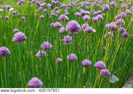 Purple Flowers Of Decorative Bow Allium Against Green Leaves For Summer Background.