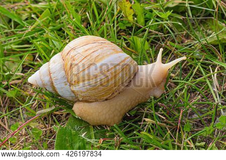Beige Giant African Land Snail Crawling On The Green Grass. Cracked Snail Shell. Side View.