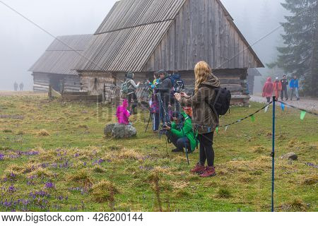 Chocholowska Valley, Tatra Mountains, Poland - 09 April 2016: People Taking A Photo Of Blooming Croc