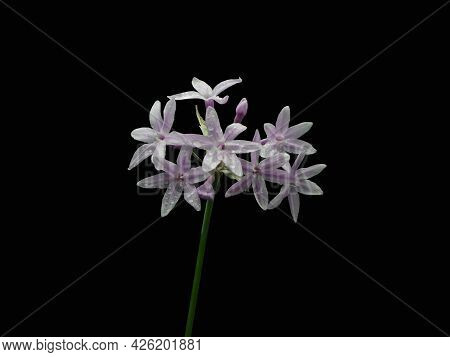 Cluster Of Society Garlic Flowers With Dew Drops Isolated On Black Background.