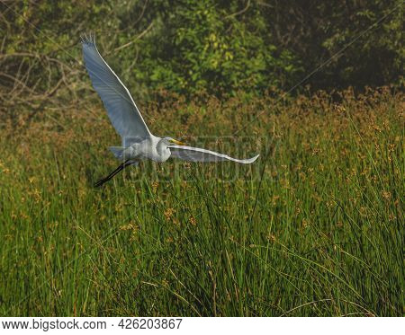Flying White Egret Over Tall Pond Grass.