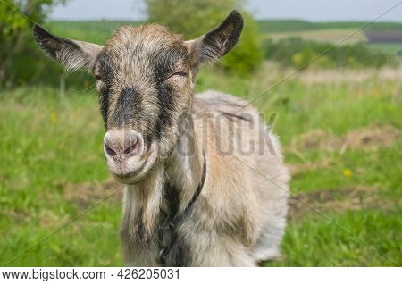 A Happy Domestic Goat Smiles Right Into The Camera. A Goat Grazes On A Green Pasture. The Concept Of