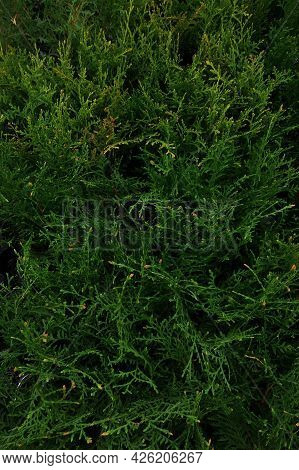 Shop For The Sale Of Evergreen Plant Seedlings. Rows Of Conifers Arborvitae Two Colors, Vertical Vie
