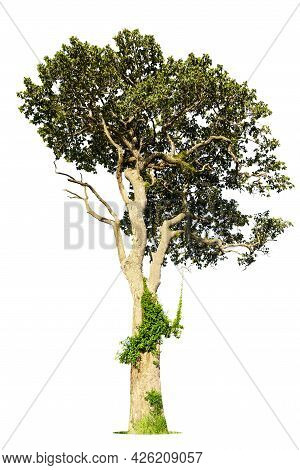 Isolated Green Tree On White Background, Trees Isolated On White Background, Tropical Trees Isolated