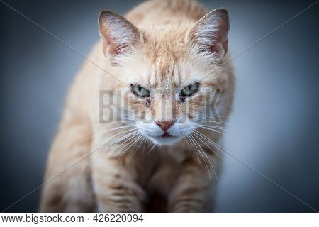 Selective Blur On An Angry Stray Ginger Redhead Cat, Looking And Staring At The Camera With Its Grum