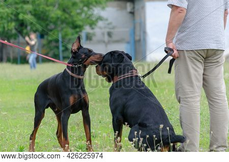 Two Black Pets Sniff Each Other At Dog Park. Adult Rottweiler In Front Of Doberman On Leash. Getting