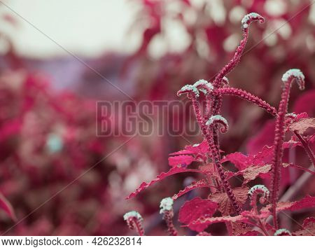 Pink Plant With White Flower Natural Background At Day Light.