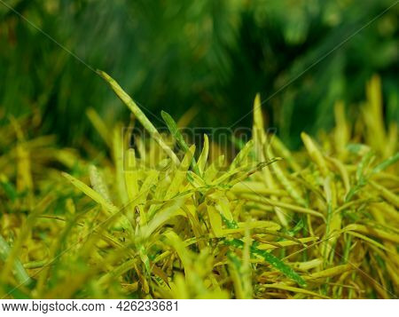 Light Yellow Color Multiple Leaves Closeup With Dark Green Blur Tree Background.