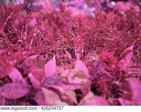 Beautiful Purple Leaves With Blur Natural Background.