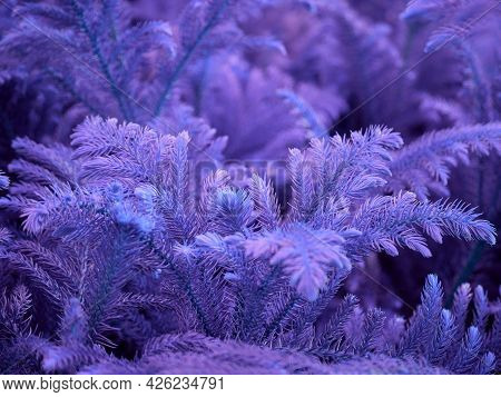 Beautiful Purple Leaves With Thorn Shade On Blur Natural Background.