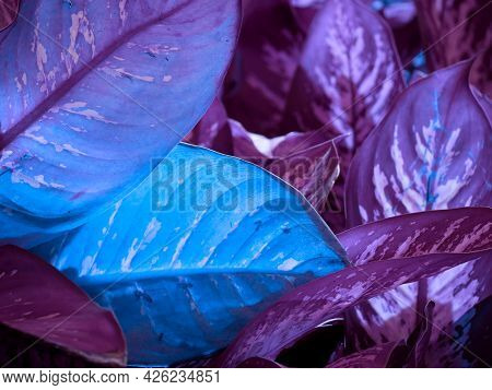 Beautiful Blue Leaves With White Color Shade On Blur Natural Background.