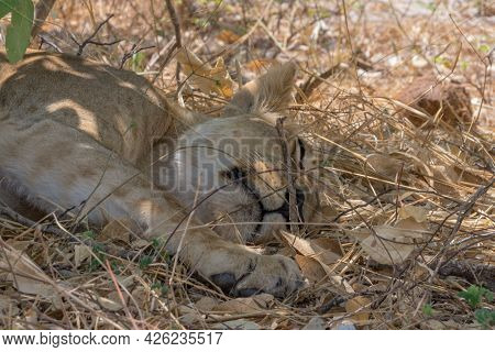 Lioness Dozing In The Shade In Chobe National Park, Botswana