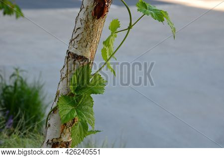 Wild Hops Creep Around A Birch Tree Trunk. It Is An Upright Lilac And A Source For Beer Production I