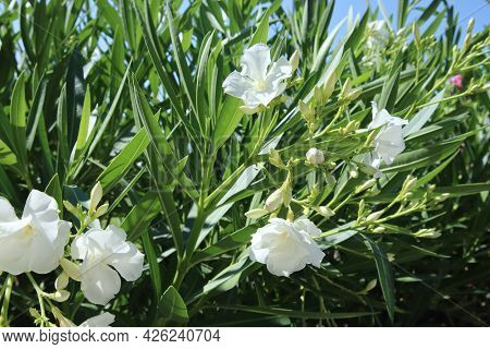 Closeup Beautiful White Oleander Flowers Background With Bright Green Leafs. Mediterranean Flora Of