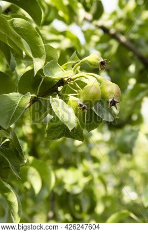 Green Pears On A Tree Branch In The Garden.