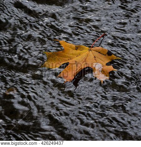 Maple Leaf Flow Down The River -  A Colorful And Nostalgic Autumn Landscape