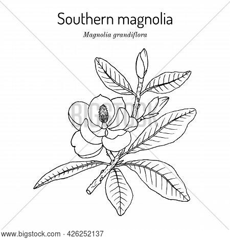Southern Magnolia Or Bull Bay Magnolia Grandiflora , State Tree And Flower Of Mississippi. Vector Ha