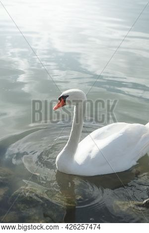 An image of a lonely swan at the water with space for your content