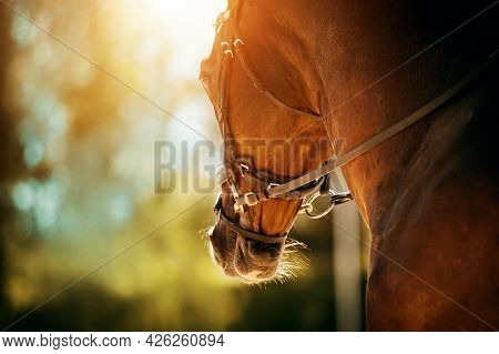 Portrait Of A Beautiful Bay Horse With A Bridle On Its Muzzle On A Sunny Summer Day. Equestrian Spor