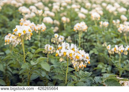Exuberant Yellow And White Flowering Potato Plants In A Dutch Field. The Photo Was Taken In The Prov