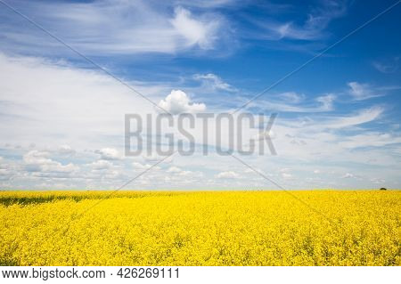 Yellow Blooming Rape Field With Beautiful Cloudy Sky On Background.