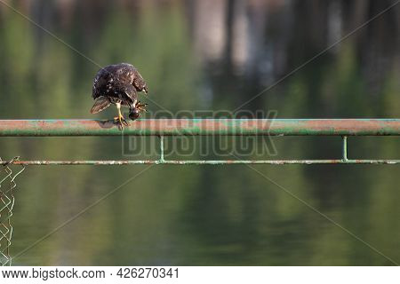 Snail Hawk With Its Prey In Its Claws And Ready To Feed, Natural Light, Selective Focus.