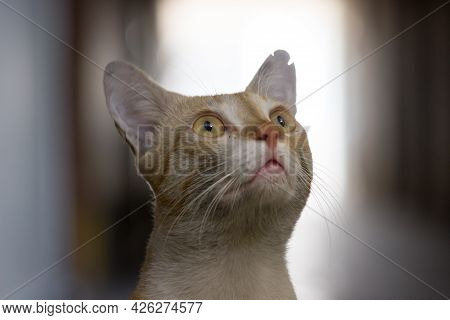 Portrait Of Cute Cat With Yellow Eyes And Whiskers, Nice Soft Fluffy Purebred Straight-eared Long Ha