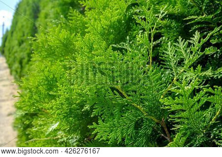 Beautiful Evergreen Juniper Bushes, In The Park, On A Summer Sunny Day. Background.