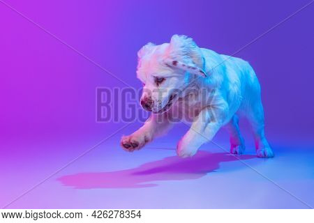 One Dog White Clumber Jumping Isolated Over Gradient Pink Blue Studio Background In Neon Light Filte